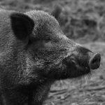 2019 – el año del Cerdo de tierra